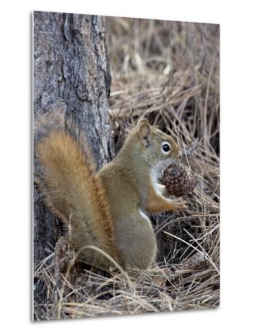 American Red Squirrel (Red Squirrel) (Spruce Squirrel) (Tamiasciurus Hudsonicus) with a Pine Cone-James Hager-Metal Print