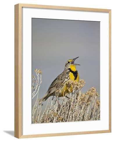 Western Meadowlark (Sturnella Neglecta)-James Hager-Framed Art Print
