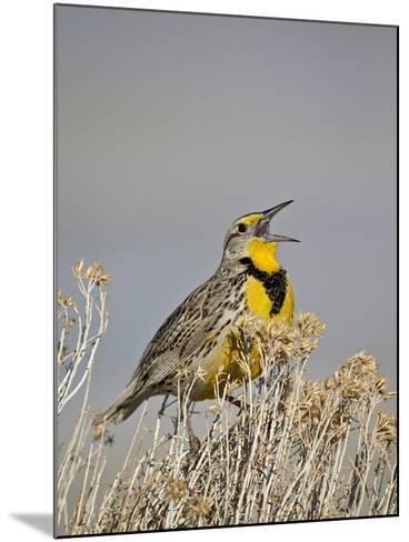 Western Meadowlark (Sturnella Neglecta)-James Hager-Mounted Photographic Print