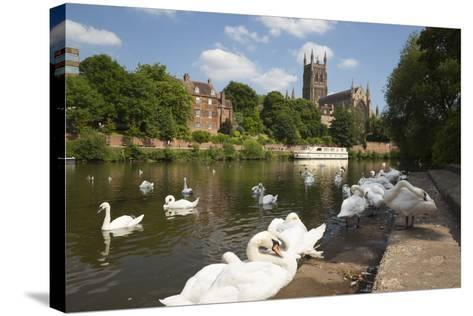Swans Beside the River Severn and Worcester Cathedral, Worcester, Worcestershire, England-Stuart Black-Stretched Canvas Print