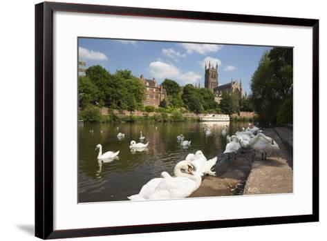 Swans Beside the River Severn and Worcester Cathedral, Worcester, Worcestershire, England-Stuart Black-Framed Art Print