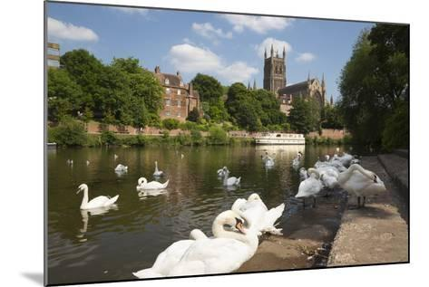 Swans Beside the River Severn and Worcester Cathedral, Worcester, Worcestershire, England-Stuart Black-Mounted Photographic Print
