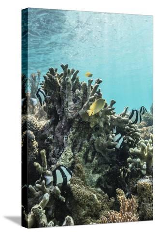 Underwater Reef System on Pink Sand Beach, Komodo National Park, Komodo Island, Indonesia-Michael Nolan-Stretched Canvas Print