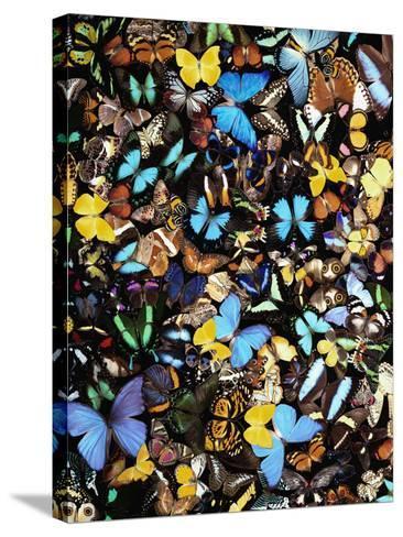 Butterflies-Darrell Gulin-Stretched Canvas Print