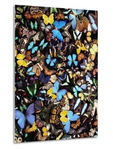 Butterflies-Darrell Gulin-Metal Print