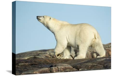 Polar Bear on Harbour Islands, Hudson Bay, Nunavut, Canada-Paul Souders-Stretched Canvas Print
