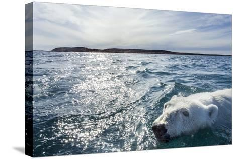 Polar Bear Swimming by Harbour Islands, Nunavut, Canada-Paul Souders-Stretched Canvas Print