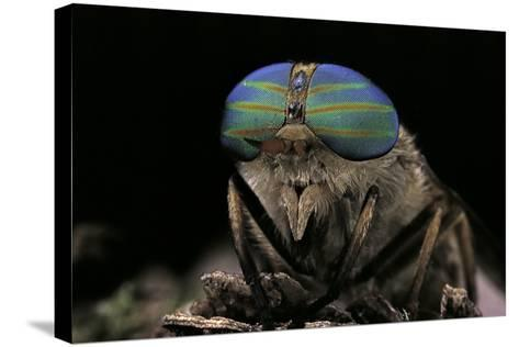 Tabanus Bromius (Small Horse Fly, Band-Eyed Brown Horsefly) - Portrait-Paul Starosta-Stretched Canvas Print