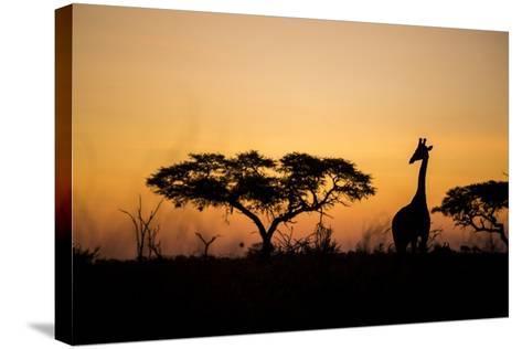 Giraffe at Dusk, Chobe National Park, Botswana-Paul Souders-Stretched Canvas Print