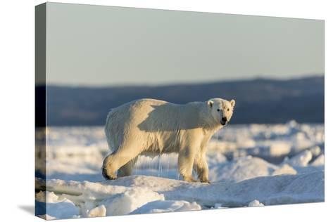 Polar Bear on Sea Ice, Hudson Bay, Nunavut, Canada-Paul Souders-Stretched Canvas Print