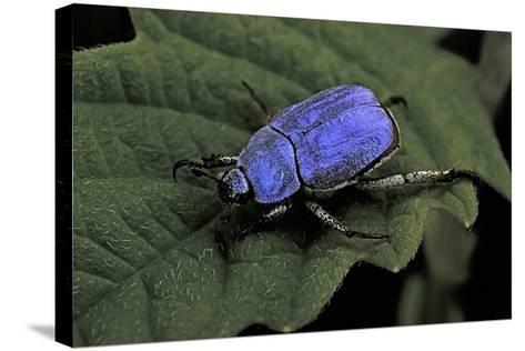 Hoplia Coerulea (Scarabaeid Beetle) - Male-Paul Starosta-Stretched Canvas Print