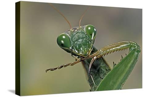 Mantis Religiosa (Praying Mantis) --Paul Starosta-Stretched Canvas Print