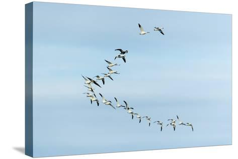 Migrating Flock of Snow Geese, Repulse Bay, Nanavut, Canada-Paul Souders-Stretched Canvas Print