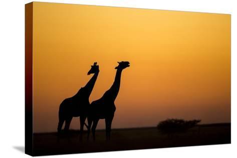 Giraffes, Nxai Pan National Park, Botswana-Paul Souders-Stretched Canvas Print