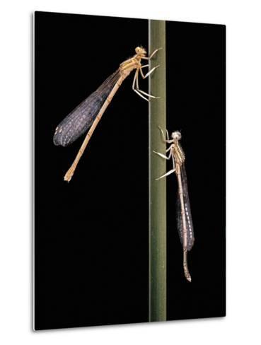 Platycnemis Pennipes (White-Legged Damselfly)-Paul Starosta-Metal Print