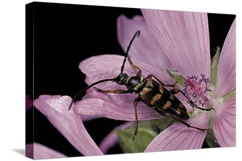 Leptura Aurulenta (Longhorn Beetle)-Paul Starosta-Stretched Canvas Print