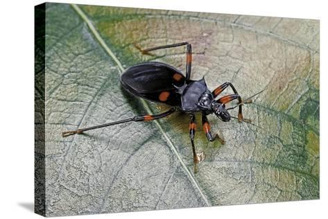Platymeris Rhadamanthus (Red Spot Assassin Bug)-Paul Starosta-Stretched Canvas Print