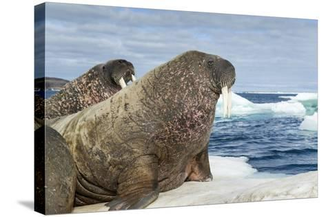 Walrus Resting on Ice in Hudson Bay, Nunavut, Canada-Paul Souders-Stretched Canvas Print