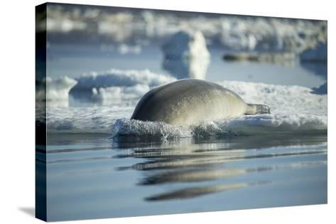 Bearded Seal Dives from Sea Ice in Hudson Bay, Nunavut, Canada-Paul Souders-Stretched Canvas Print