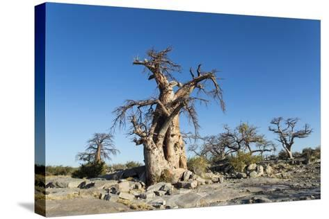 Baobab Trees, Kubu Island, Botswana-Paul Souders-Stretched Canvas Print