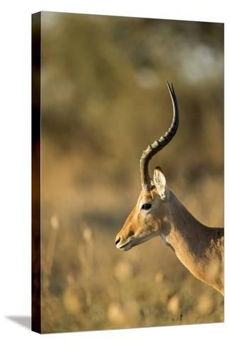 Impala, Moremi Game Reserve, Botswana-Paul Souders-Stretched Canvas Print