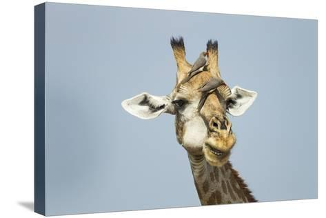 Giraffe and Red-Billed Oxpeckers, Moremi Game Reserve, Botswana-Paul Souders-Stretched Canvas Print