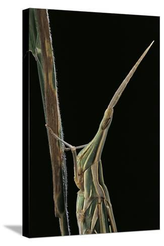 Xenotruxalis Fenestrata (Short-Horned Grasshopper) - Portrait-Paul Starosta-Stretched Canvas Print