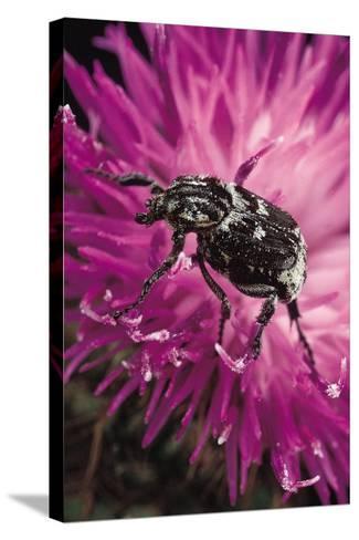 Valgus Hemipterus (Flower Beetle)-Paul Starosta-Stretched Canvas Print