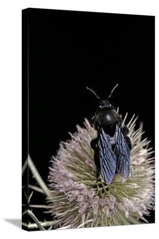 Xylocopa Violacea (Violet Carpenter Bee)-Paul Starosta-Stretched Canvas Print