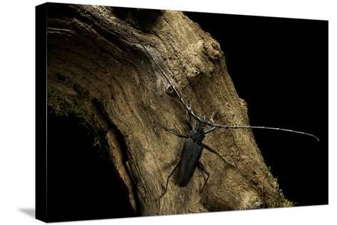 Cerambyx Cerdo (Great Capricorn Beetle)-Paul Starosta-Stretched Canvas Print