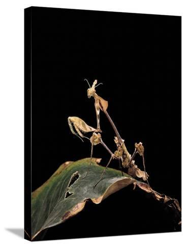 Gongylus Gongylodes (Wandering Violin Mantis)-Paul Starosta-Stretched Canvas Print