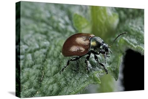 Chrysolina Polita (Leaf Beetle)-Paul Starosta-Stretched Canvas Print