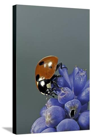 Coccinella Septempunctata (Sevenspotted Lady Beetle)-Paul Starosta-Stretched Canvas Print