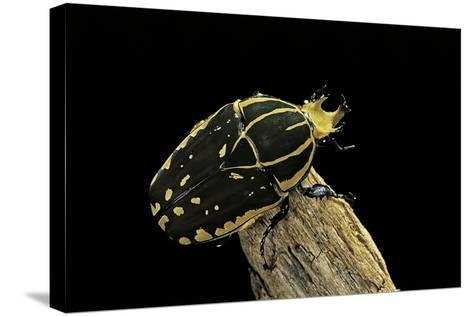 Chelorrhina Polyphemus (Flower Beetle)-Paul Starosta-Stretched Canvas Print