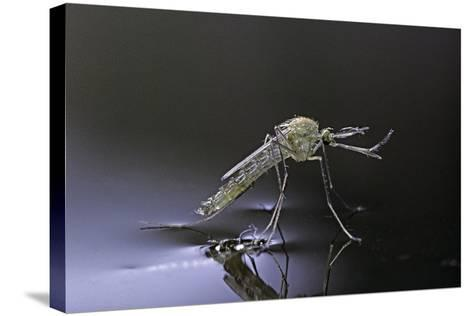 Culex Pipiens (Common House Mosquito) - Newly Emerged from Pupa-Paul Starosta-Stretched Canvas Print