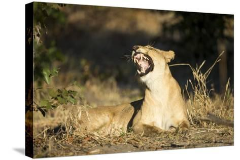 Yawning Lioness, Chobe National Park, Botswana-Paul Souders-Stretched Canvas Print