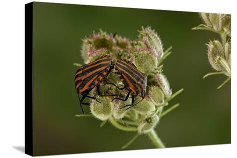 Graphosoma Lineatum (Striped Shield Bug ) - Mating-Paul Starosta-Stretched Canvas Print