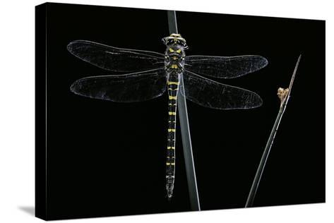 Cordulegaster Boltonii (Golden-Ringed Dragonfly)-Paul Starosta-Stretched Canvas Print