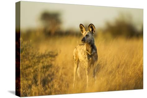 Wild Dog at Dawn, Moremi Game Reserve, Botswana-Paul Souders-Stretched Canvas Print