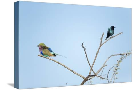 Lilac Breasted Roller and Burchell's Starling, Botswana-Paul Souders-Stretched Canvas Print