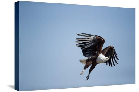 Fish Eagle in Flight, Chobe National Park, Botswana-Paul Souders-Stretched Canvas Print
