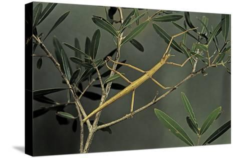Clonopsis Gallica (French Stick Insect)-Paul Starosta-Stretched Canvas Print