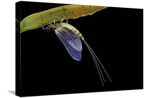 Ephemera Danica (Mayfly)-Paul Starosta-Stretched Canvas Print