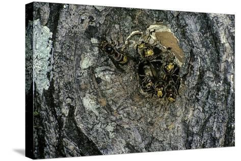Vespa Crabro (European Hornet) - Nest Entrance in a Tree Trunk-Paul Starosta-Stretched Canvas Print