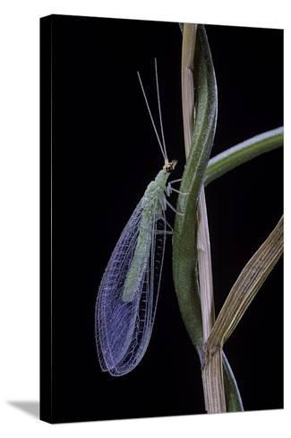 Chrysopa Carnea (Green Lacewing)-Paul Starosta-Stretched Canvas Print