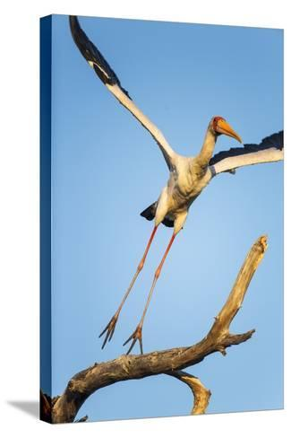 Yellow Billed Stork, Moremi Game Reserve, Botswana-Paul Souders-Stretched Canvas Print