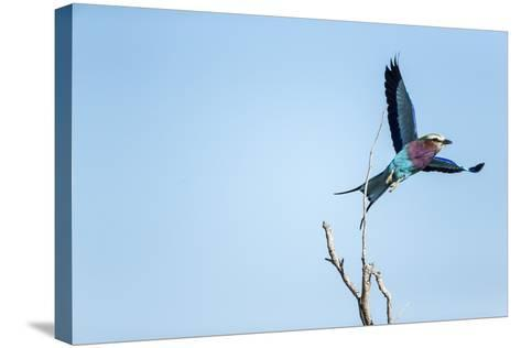 Lilac Breasted Roller, Moremi Game Reserve, Botswana-Paul Souders-Stretched Canvas Print