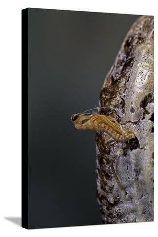 Mantis Religiosa (Praying Mantis) - Hatching-Paul Starosta-Stretched Canvas Print