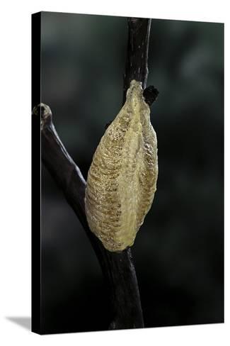 Mantis Religiosa (Praying Mantis) - Recently Laid Ootheca-Paul Starosta-Stretched Canvas Print