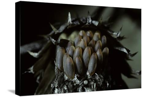 Melasoma Populi (Broad-Shouldered Leaf Beetle, Balsam Poplar Leaf Beetle) - Eggs-Paul Starosta-Stretched Canvas Print